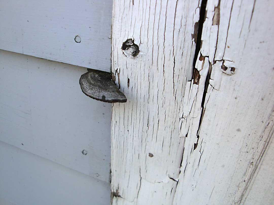 corner-board-rot-and-mushroom