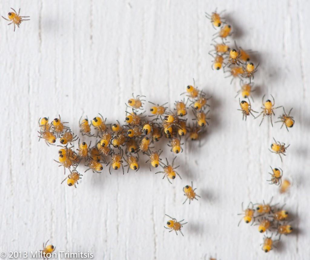 Cross orbweaver spiderlings closeup