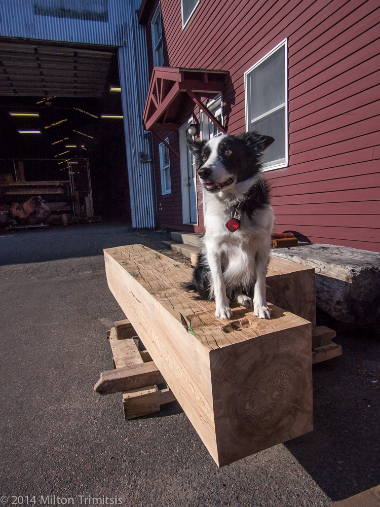 Border collie sitting on large old-growth heart-pine beam